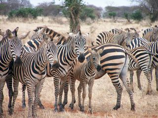 Zebras in Group