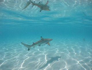 Shark in Water 2