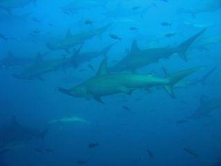 Sharks - Hammerheads